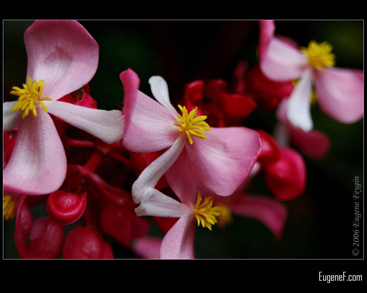 Pink Cane Begonia