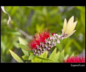 Red Bottle Brush