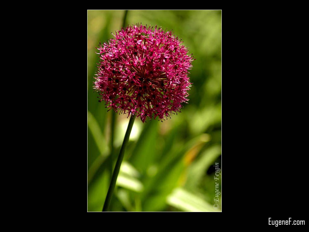 Red Dandelion