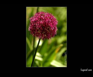 Red Dandelion