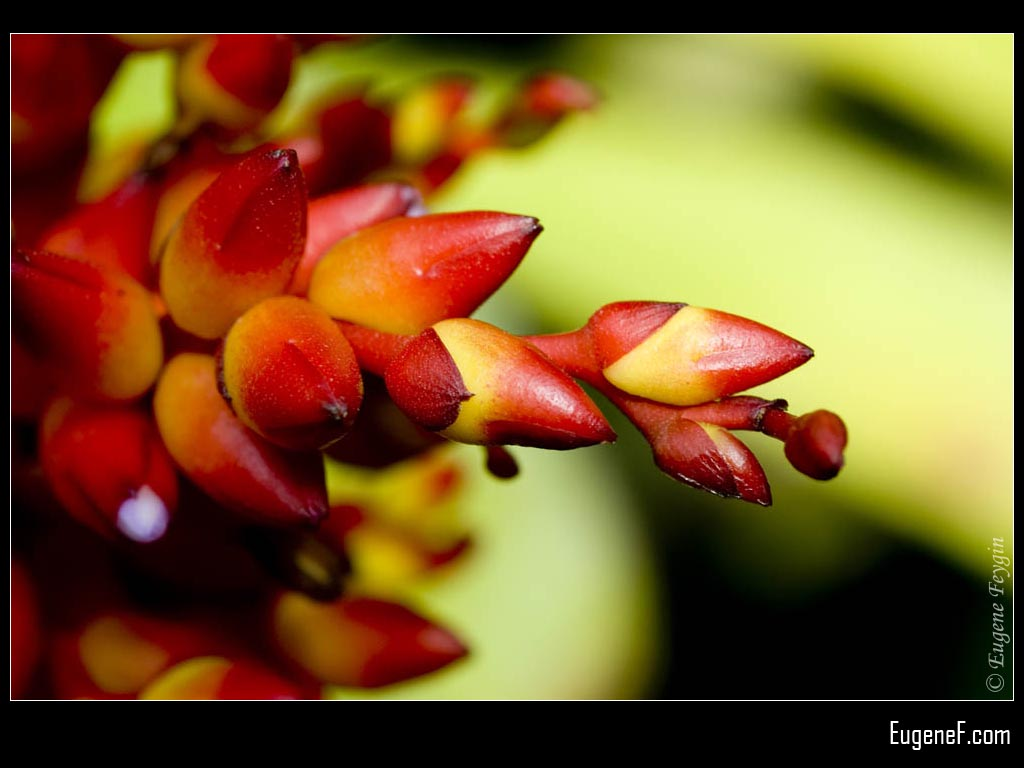 Red Orchid Buds