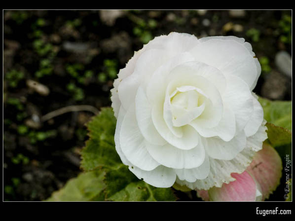 White Single European Rose