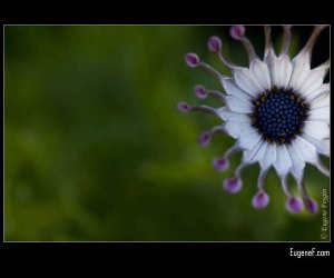 African Moon Flower