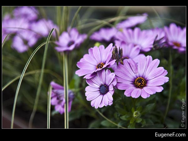 Field Purple Daisy Flowers