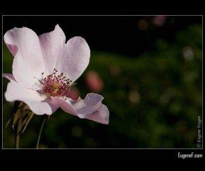 Iris Flower Macro