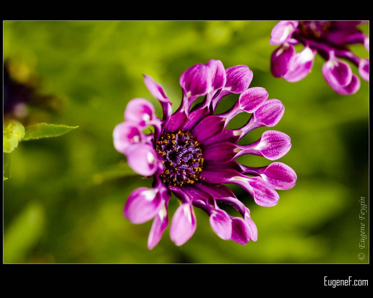 Purple Firework Flower