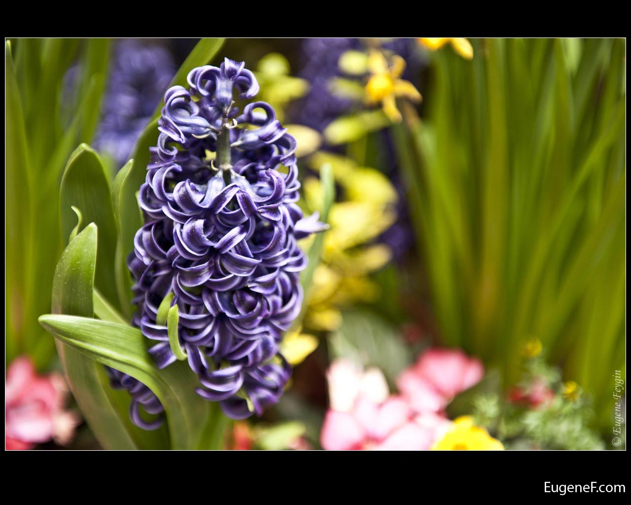 Purple Hyacinth