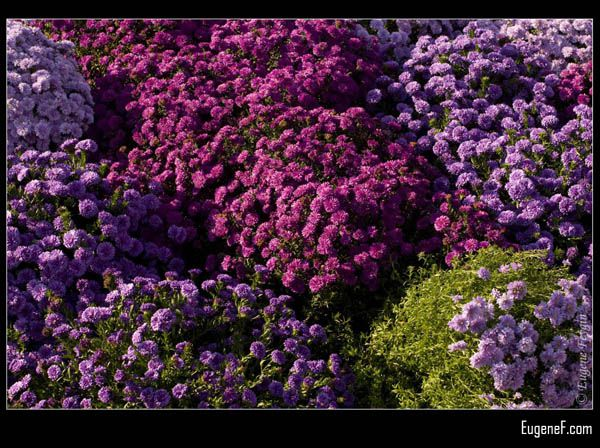 Violet and Purple Chrysanthemums