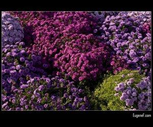 Violet and Purple Chrysanthemums