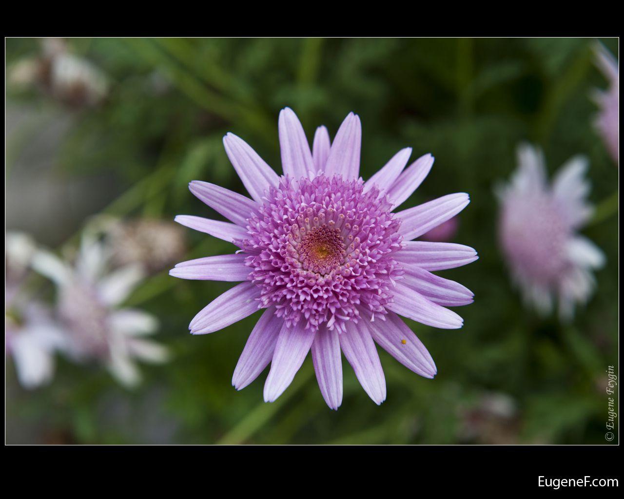 pink peruvian flower
