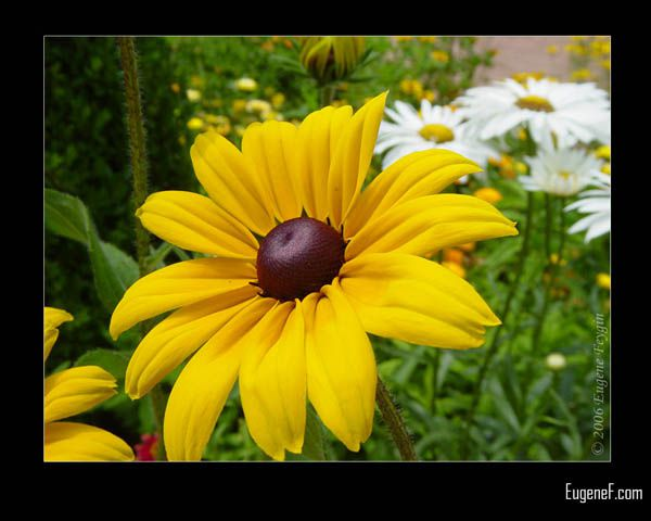 Black Eyed Susan Flower
