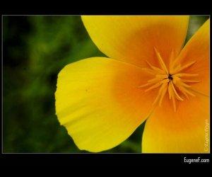 Side Yellow Pansies