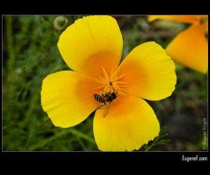 Yellow Orange Pansies