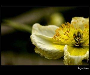 Yellow Portulaca