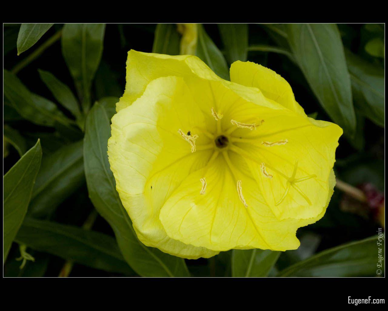 Yellow Primula