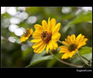 peruvian yellow flower