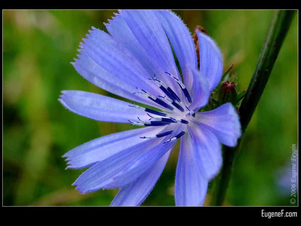 Blue Cannaceae
