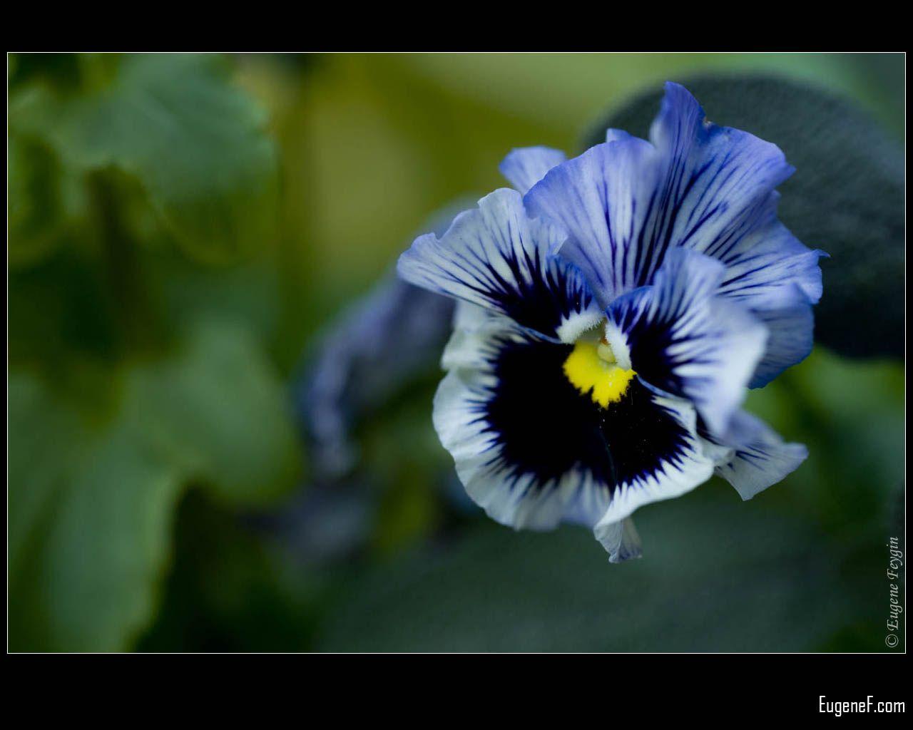 Blue Pansies Flower