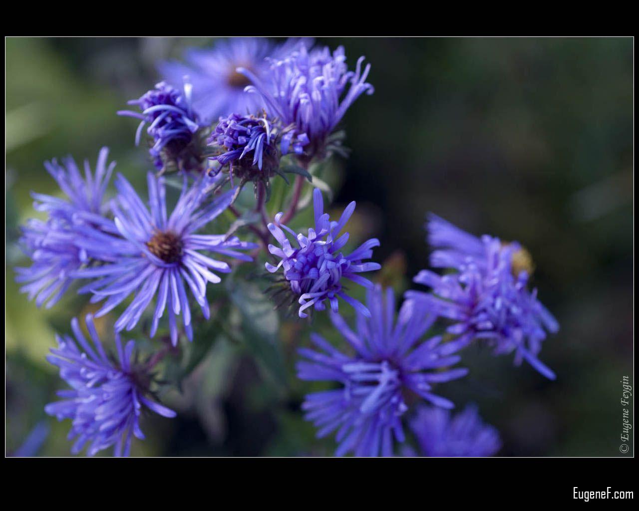 Macro Blue Chicory