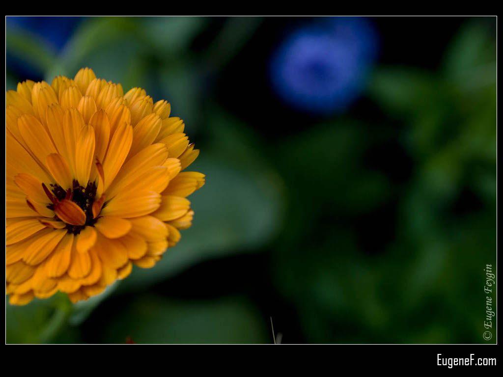 Orange  Zinnia Petals