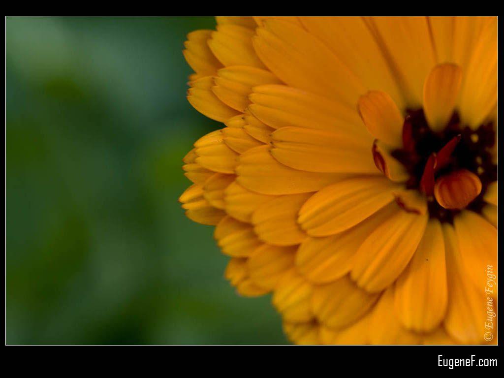 Orange Papaver Flower