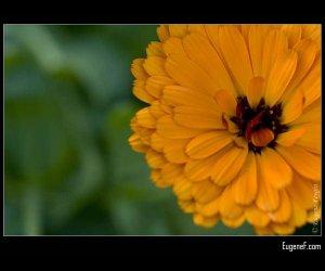 Orange Papaver
