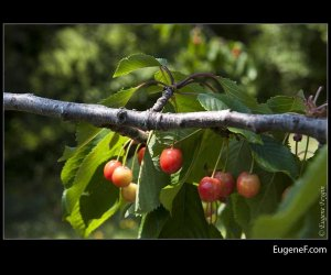 Exotic Wild Cherries