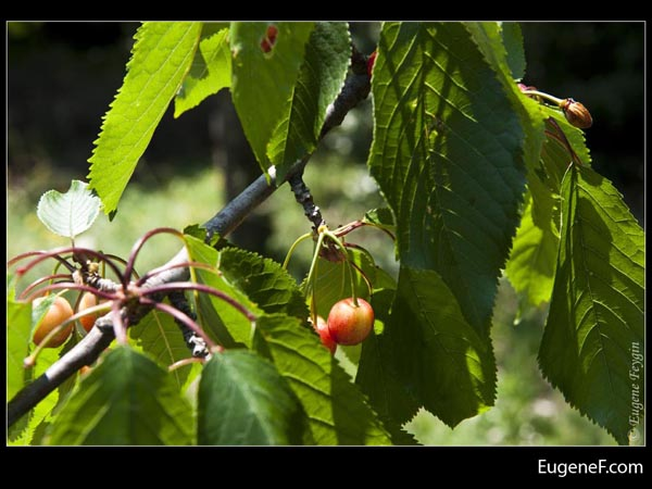 Small Cherry Tree