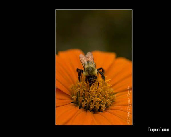 Yelllow Bumble Bee