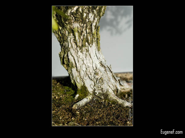Bonsai Green White Bark