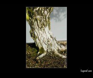 Bonsai Green White Bark