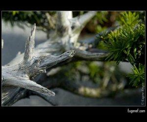 Bonsai Large Branch
