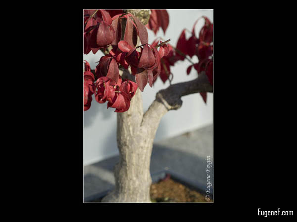 Bonsai Red Leaves