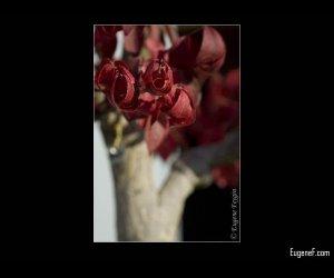 Bonsai Tree Red Leaves