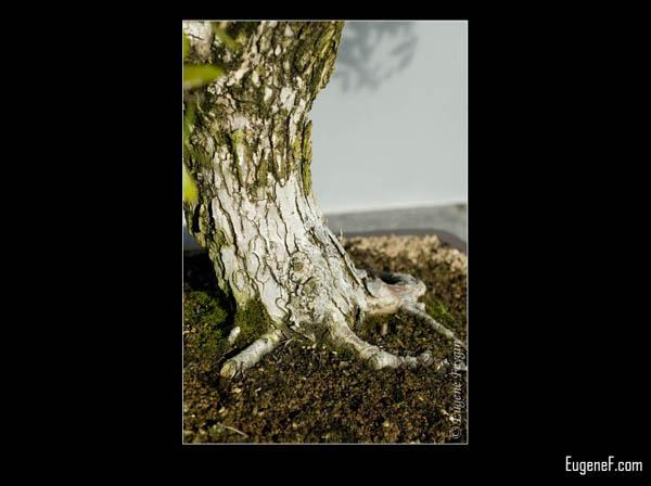 Bonsai White Bark