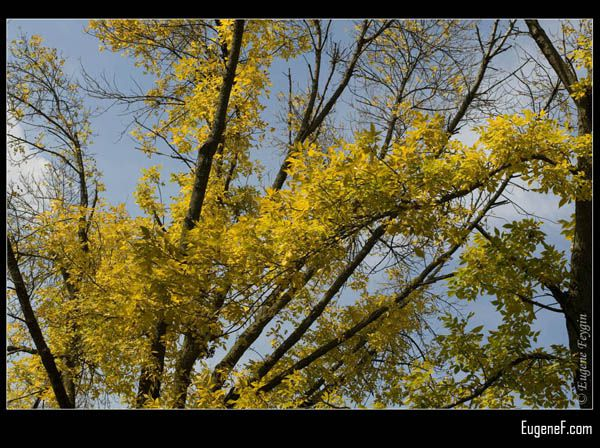Fall Yellow Leaves