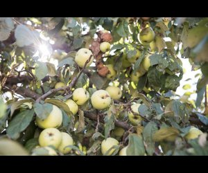 Antonovka Apples Hanging from a Tree